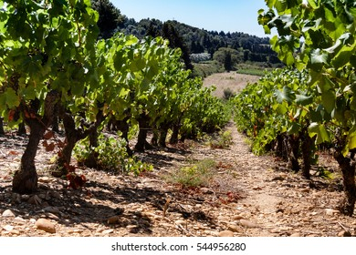 grapevines in france