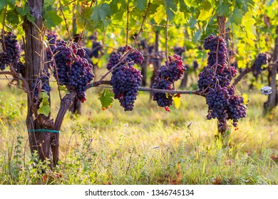 Grapevines in Tuscany Italy