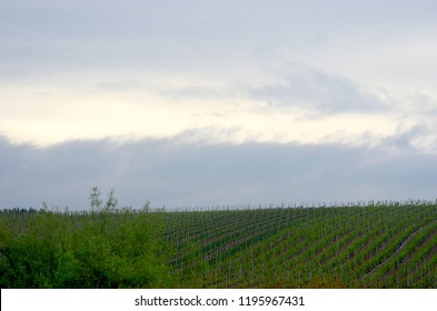 Grapevines in a vineyard are covered in green leaves, with some trees are in the foreground. The vineyard rises up a gentle slope towards an overcast sky.