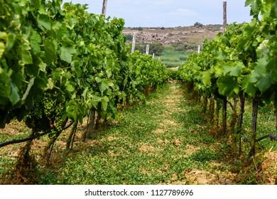 Grapevines in a vineyard in Gozo, Malta.