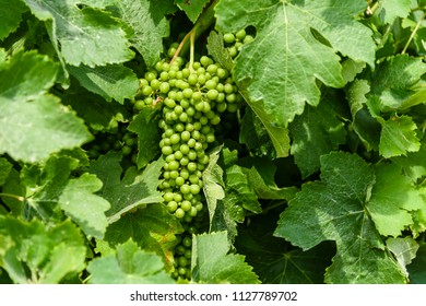 Grapevines in a vineyard in Gozo, Malta.