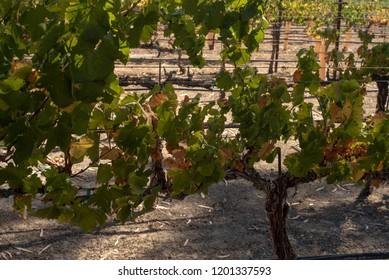 grapevines at winery in Nevada, USA