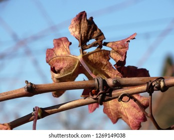 grapevines in winter and Red leaves