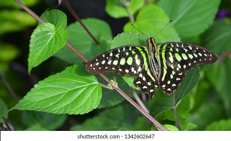 Graphium agamemnon, the tailed jay is a predominantly green and black tropical butterfly that belongs to the swallowtail family. The butterfly is also called the green-spotted triangle