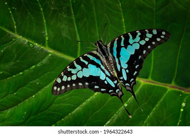 Graphium antheus, large striped swordtail, butterfly grom Papilionidae (swallowtails), found in tropical and sub-Saharan Africa. Beautiful insect from Congo. Blue butterfly sitting on the green leave.