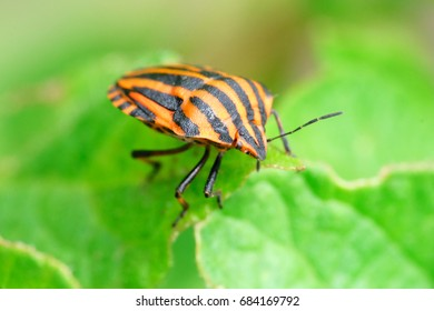 Graphosoma lineatum on leaf close view