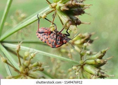 Graphosoma lineatum is a species of shield bug in the family Pentatomidae. It is also known as the Striped bug and Minstrel bug, seen in the forest near Pecene / Portugal