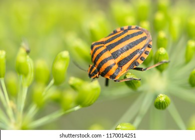 Graphosoma lineatum is a species of shield bug in the family Pentatomidae. It is also known as the Striped bug and Minstrel bug.