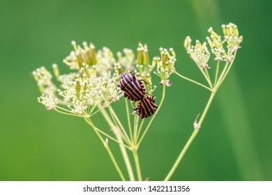 Graphosoma lineatum, striped bug,  minstrel bug