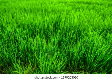 Gras, junges Getreide, Natur, Ebreichsdorf, grün, Miniatureffekt