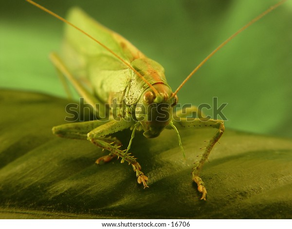A grashopper.
