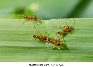 grass blade with european fire ants