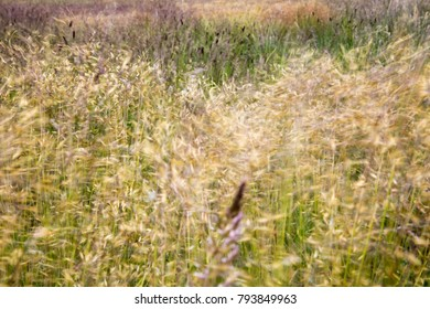 Grass blowing in the wind.  Grasslands of Lesotho, Drakensberg and Maluti's.
