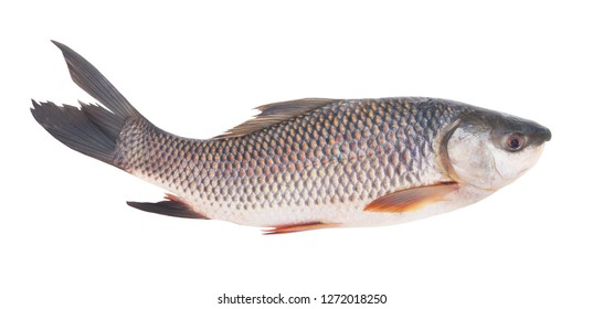 Grass carp fish isolated on white background