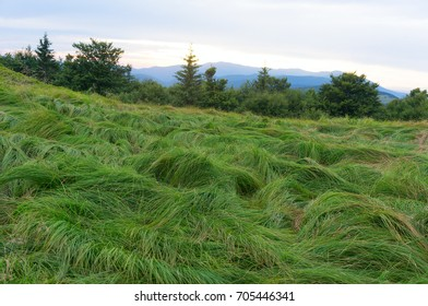 Grass in Carpathian mountains.