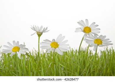 Grass with daisies and a white background