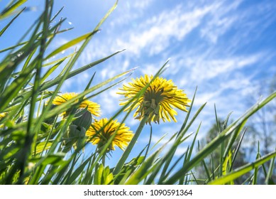 Grass with dandelion flowers and blue sky, low angle view