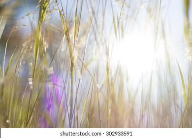 grass at dawn in the sun