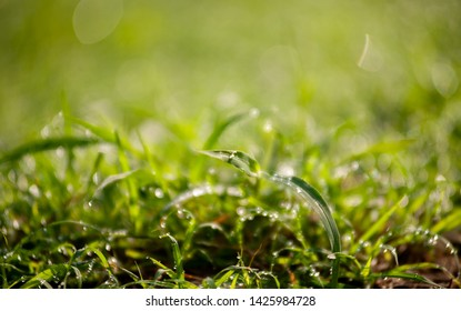 Grass dew drops bokeh for the background