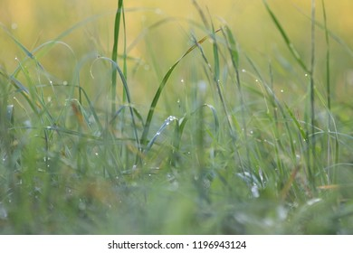 grass in dew with a wonderful bokeh and background/ Beautiful dew on green grass with sun rays and green natural background in morning, Water droplets on green leaf and bokeh light background, , Abstr