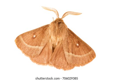 The grass eggar (Lasiocampa trifolii) isolated on white