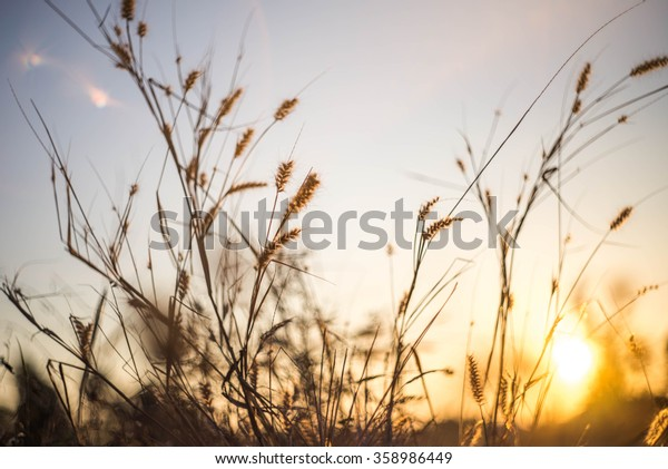 Grass with evening light