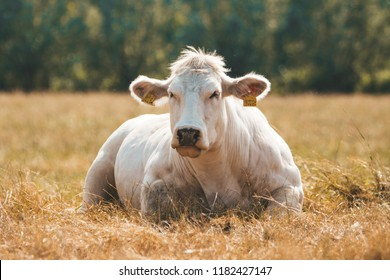 Grass fed Belgian Blue cow (Race de la Moyenne et Haute Belgique) is laying and relaxing on the hay - Blanc-Bleu Belge a breed of beef cattle with double-muscling (myostatin) or genetically modified