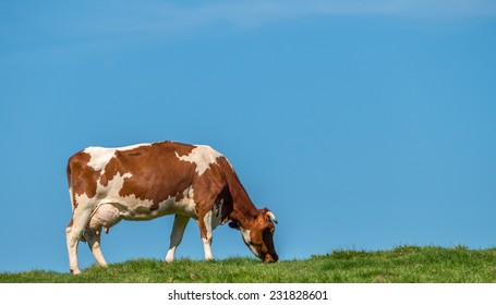 Grass fed cow grazing in field against blue sky