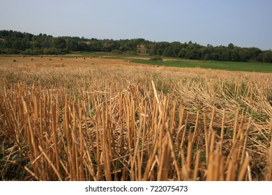 grass field closeup in Sunny day, harvesting