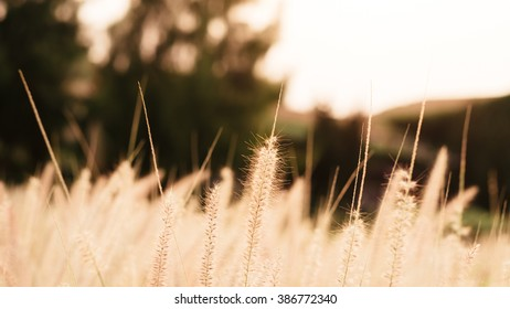 Grass field during the sunset, golden light and blurry background 16:9 crop