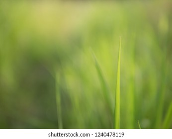 Grass filed in the morning on green natural with blurred vission. Abstract background and texture of nature