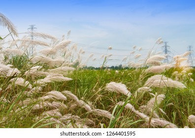 Grass flower blossom in the countryside with high power pole