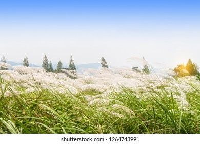 Grass flower blossom in the countryside and the wind blows gently