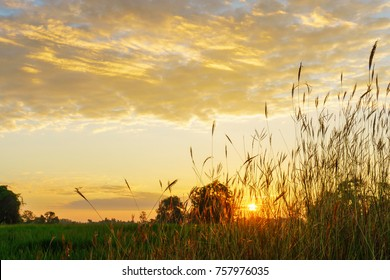 Grass flower and green paddy field at morning sunrise background