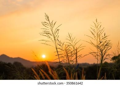 Grass flower on sunset background