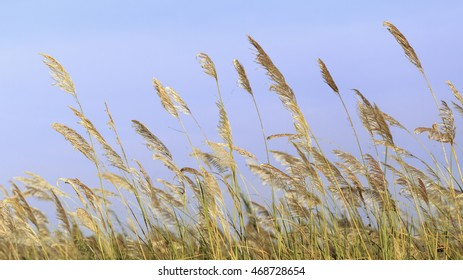 Grass flower (Pennisetum setaceum), Mission Grass