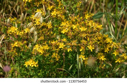 Grass flower in summer