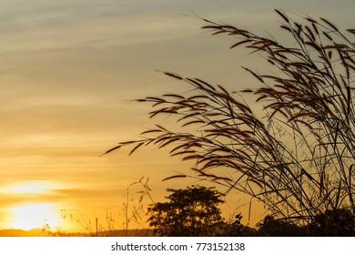 Grass flower with sun light Rays of light.