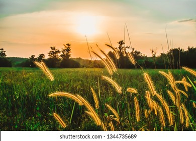 grass flower at sunset  in countryside of Thailand