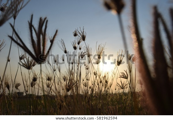 grass flower with sunset light