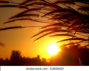 Grass flower in sunshine