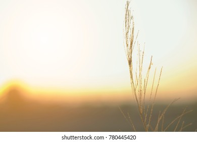 Grass flower with vintage tone at sun set time alone and background.