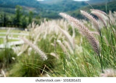 Grass flower in the wind. Flower grass background ,Pennisetum pedicellatum Trin. Flower of grassroots was blooming beautiful