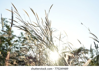 Grass flowers in the evening with a beautiful soft sunshine, Thailand.
