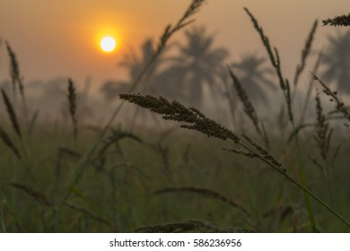 Grass flowers on blurred background of rice fields and coconut trees in the morning.