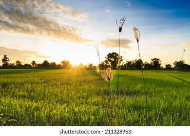 Grass Flowers with Rice Field Background  at Sunrise.