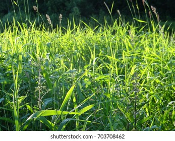 Grass in the forest. Thin. Green.
