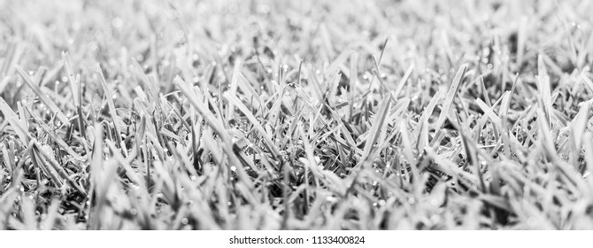 Grass with fresh morning dew drops in sunlight in black and white