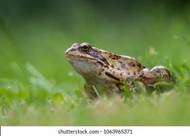 a grass frog