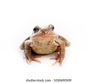 grass frog (Rana temporaria) on a white background looks into the lens enormous eyes with mouth tightly closed. amphibian animals close-up